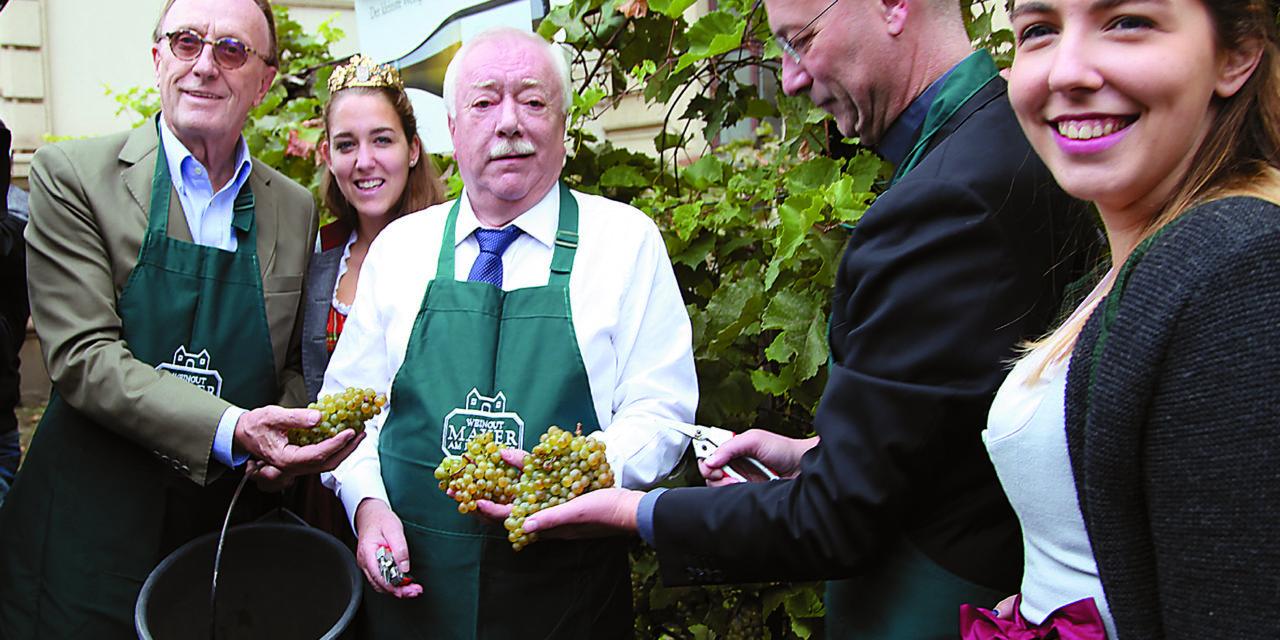 Traditionelle Weinlese im kleinsten Weingarten Wiens
