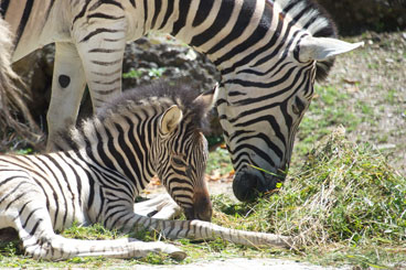 Tiergarten Zebra-Fohlen
