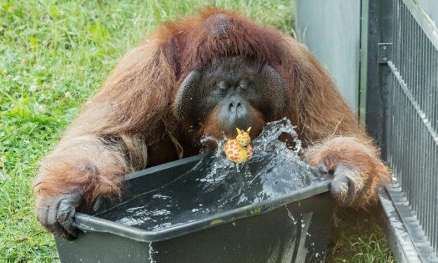 Hitzetipps der Orang – Utans im Tiergarten Schönbrunn